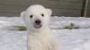 E vioi şi sănătos, dar are nevoie de ajutor! Se caută un nume pentru un ursuleţ polar (VIDEO)