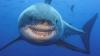 Imagini cu un rechin de 7 metri, cel mai mare văzut vreodată, au devenit virale pe Internet (VIDEO)