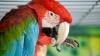 EXPLICAŢIE INEDITĂ! Motivul pentru care papagalii pot vorbi (VIDEO)