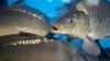 Sute de kilograme de peşte cu termenul expirat ar fi putut ajunge pe mesele moldovenilor (VIDEO)