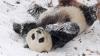 NO COMMENT! Un urs panda se distrează de minune în zăpadă (VIDEO)