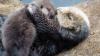 Viral pe Internet! Dragostea unei mame vidră faţă de puiul său (VIDEO)