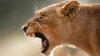 BIZAR pe Internet! O imagine cu un leu de munte vânat a făcut înconjurul lumii