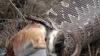 INCREDIBIL. Un bărbat scoate doi iezi din stomacul unui şarpe gigantic (VIDEO)