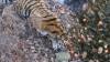 O prietenie mai tare ca granitul. Tigrul Amur şi ţapul Timur au descoperit jocul cu mingea (VIDEO)