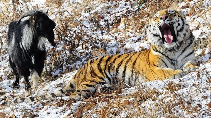 S-a întâmplat INEVITABILUL. Tigrul Amur l-a atacat pe ţapul Timur. Ultimul, evacuat de urgenţă (VIDEO)