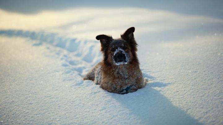 Comportamentul haios al unui patruped atunci a ieșit cu stăpânii la plimbare prin zăpadă (VIDEO)