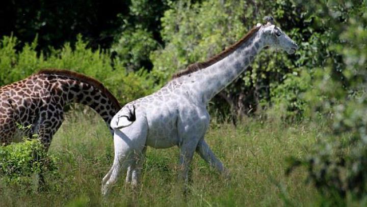 """De ce a fost numită această girafă """"OMO""""? (FOTO/VIDEO)"""