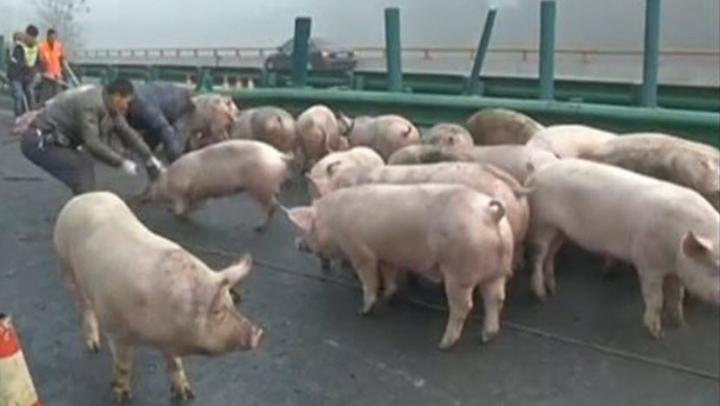 (VIDEO) ESCAPADA PORCILOR pe o autostradă din China! Circulaţia a fost paralizată ore în şir