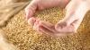 Anchetă penală în Găgăuzia! Procurorii caută CINE A FURAT 350 de tone de grâu, ajutor umanitar