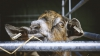 Poliţia din India a arestat o capră. Animalul și stăpânul riscă până la doi ani de închisoare