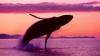 INEDIT: Cum poţi salva balenele vizionând filme porno