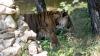 Kira şi Tonga, atracția de la Grădina Zoologică din Capitală. Cum se distrează felinele