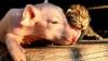 Amici la cataramă! O pisicuţă şi un purceluş sunt de nedespărţit (VIDEO/FOTO)