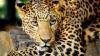 CLIPE DE TEROARE: Un leopard a făcut ravagii într-o şcoală din India (FOTO)