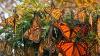 Spectacol al naturii. Pădurile din centrul Mexicului, INVADATE de fluturi monarh