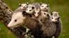 VIRAL pe internet! O mamă oposum grijulie transportă 15 pui în spate (VIDEO)