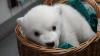 Ghem alb de fericire! Primele zile din viața unui urs polar, venit pe lume la un zoo din Ohio (VIDEO)