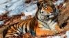 ÎNGROZITOR: În Rusia tigrii pot fi întâlniţi pe marginea drumurilor