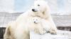 (VIDEO) Clipe de gingăşie la zoo. Iată cum se joacă această ursoaică albă cu puiul său