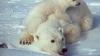 Ziua Îndrăgostiţilor se sărbătoreşte şi la Zoo! Cadoul special al unui urs polar (VIDEO)