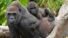 Se întâmplă extrem de rar! O gorilă a fost supusă unei operații de cezariană