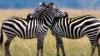 """Un fotograf a reușit să fotografieze două zebre cu """"un singur cap"""""""