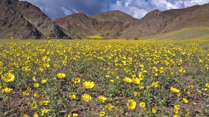 PRIVELIŞTE SPECTACULOASĂ! Una dintre cele mai aride zone din California s-a umplut de flori