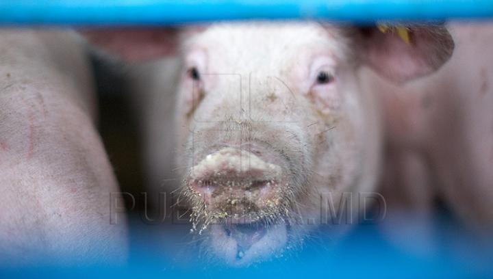 Moarte ÎNGROZITOARE! Un bărbat a fost mâncat de porci după ce a suferit un infarct