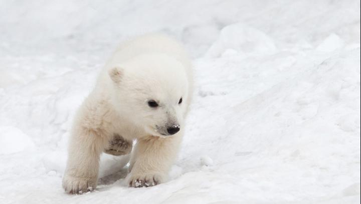 Mare veselie la Zoo! Un ursuleţ polar se joacă pentru prima dată în zăpadă (VIDEO)