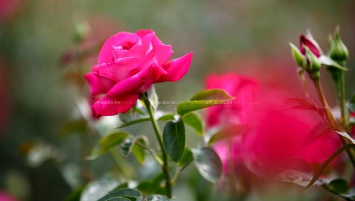 Albăstrea, trandafir sau bujor? Floarea care eşti în funcţie de ziua naşterii