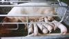 Pesta porcină loveşte în economia Belgiei. Nouă state au întrerupt importul de carne de porc