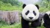 Imagini adorabile cu un pui de panda care nu dorea să fie îmbăiat (VIDEO)