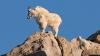 Nu ai mai văzut aşa ceva. Unde s-a căţărat o capră de nu se mai putea da jos (VIDEO)