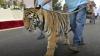 PANICĂ: Un bărbat beat a scos la plimbare un pui de tigru. Cu ce s-a sfârșit isprava (VIDEO)