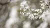 Recolta de fructe, ÎN PERICOL! Mai mulţi copaci în floare au fost afectaţi de îngheţuri