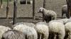 Forfotă în stânele din țară. Păstorii pregătesc mieii pentru masa de Paște și se întrec în oferte