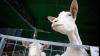 CIUDĂŢENIE într-un sat din Strășeni! Ce au fătat caprele mai multor gospodari