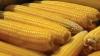 Performanţă! Seminţe de porumb produse în Moldova vor putea fi exportate în ţările UE