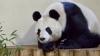 HAIOS! Un urs panda face baie într-un vas mult prea mic pentru el (VIDEO VIRAL)