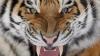 TERIFIANT! Un tigru a băgat în sperieți conducătorii auto (VIDEO)