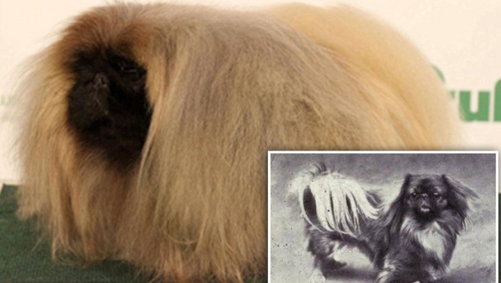 TREBUIE SĂ VEZI! Cum s-au schimbat în ultimii 100 de ani câinii de rasă (FOTO)