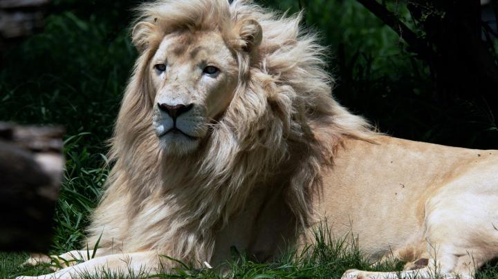 Un leu alb scăpat dintr-o grădină zoologică din Canada a fost ucis