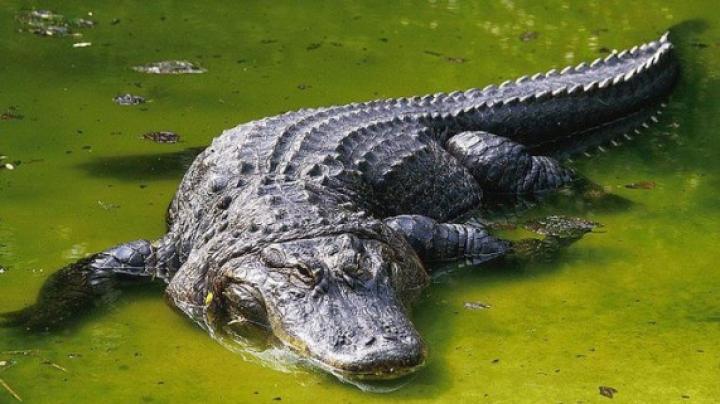SPERIETURĂ CUMPLITĂ! Un cuplu a găsit un aligator în curtea casei