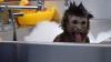 Animalele care ştiu să se RELAXEZE! Sunt răsfăţate de stăpâni şi adoră băile cu spumă (VIDEO VIRAL)