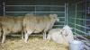 Mii de oameni îşi doresc să devină păstori la poalele muntelui Velika Planina din Slovenia