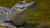 Bovinele care dispăreau peste noapte, cină pentru un aligator (VIDEO)