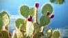 INCREDIBIL! În restaurantele din întreaga lume sunt servite frunze de cactus (VIDEO)