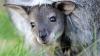 MÂNDRIA Grădinei Zoologice din Chişinău. Ţarcul cangurilor este mai bogat cu trei pui