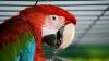 "NO COMMENT: Papagalul care a evadat din colivie şi s-a apucat de cântat ""I belive I can fly"" (VIDEO)"